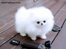 Lovely Teacup Pomeranian Puppies for adoption(909-296-7704)... Image eClassifieds4U
