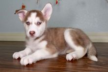 Outstanding Husky Puppies for Sale