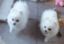 Best Quality Teacup Pomeranian Puppies
