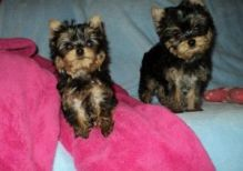 Standard Yorkshire terrier puppies, 1 male and 1 female ready to go now.