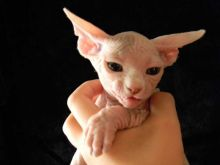 Healthy Sphynx Kitten For Re-Homing