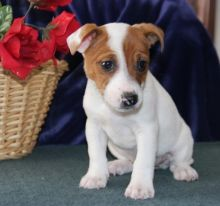 Jack Russell puppies -