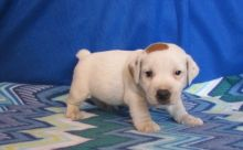 Quality Jack Russel puppies