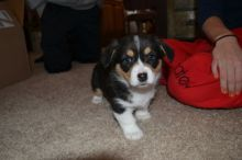 Registered Pembroke Welsh Corgi Puppies