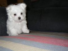 Gorgeous Teacup Maltese Puppies Now Available, (443) 201-1875