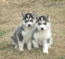 Healthy Siberian Husky Pupps For adoption