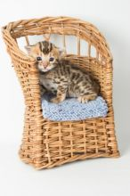 Sweet Able TICA Registered Bengal kittens available now for good homes.