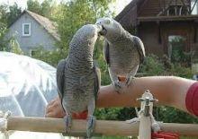 African Grey Parrots!