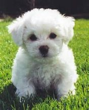 AKC Awesome Bichon Frise