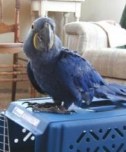 Hyacinth Macaw Birds For Re Homing To Any Loving HOME TEXT AT (347) 921-0128