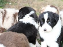 Amazing Ckc registered Australian Shepherd Puppies For Good Homes
