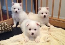 Extra Charming American-eskimo-dog Puppies Available For Great Homes