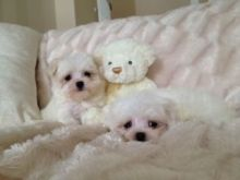 Very Healthy Bichon Maltese Puppies For Adoption