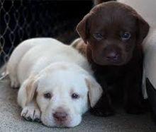 Pure Breed Labrador Retriever Puppies