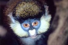 Pygmy Rare Spot-Nosed Guenon Monkey Available