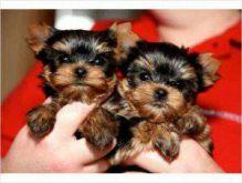 Loving Tea Cup Yorkie Puppies