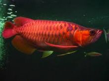 BUY PREMIUM QUALITY ASIAN AROWANA FISHES