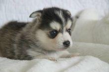 Pomsky puppies for Adoption ///nikikolopta22@gmail.com