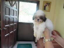 Shih Tzu Puppies Ready for sale