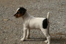 Humble jack russell puppies
