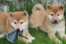 male and female Shiba Inu ready now