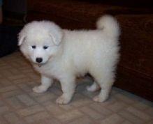 Charming Samoyed Pups available