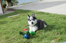 Our Adorable Sweet siberian husky Puppies Ready text (407) 442 4849