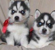 Blue eyes huskies puppies