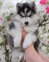 CUTE S.i.b.e.r.i.a.n H.u.s.k.y Puppies