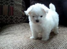 Lovely pure breed Maltese puppies