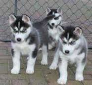 Playful Huskys Puppies available now