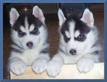 Playful Siberian Husky Puppies For New Homes