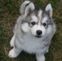 Adventurous and Clever siberian husky