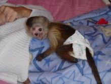 Black & White Capuchin Monkeys For adoption
