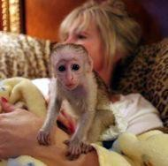 Get your dream Capuchin monkeys