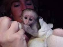 Healthy capuchin monkys for adoption