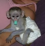 Home Raised Baby Capuchin Monkey For Adoption