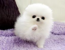 Home-raised Pomeranian Puppies