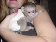 Nice and Gentle Capuchin Monkeys For Adoption To Nice Homes