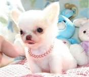 Longhaired Chihuahua Pups for Sale Image eClassifieds4U