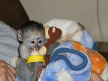 Amazing Capuchin monkeys ready for new loving homes Text (252) 528-6846