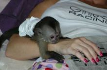 Enegetic and Fantastic capuchin monkeys for free adoption via (252) 528-6846