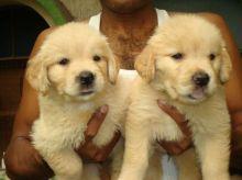 Friendly Golden Retriever Puppies