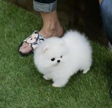 Teacup Pomeranian Puppies for Gife