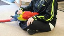 Blue and Gold Macaw Pair Parrots on sale
