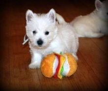 ovely Litter Of Westie Puppies -Pedigree