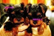 Standard Yorkshire Terrier Puppies 0 Girls 3 Boys