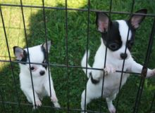 Male & Female Chihuahua* 11 Weeks old puppies* Image eClassifieds4U
