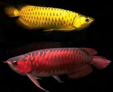Top Quality Super Arowana Fish/Back Golden/Super Red/Red Tail Golden/Green variety Arowana Image eClassifieds4U