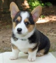 very pretty Pembroke welsh corgi puppies with a sweet personalities.